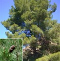Pinus_halepensis_carrasco