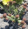 Coris monspeliensis subsp. hispanica (hierba pincel)